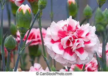 white and red carnation - this photo is taken in Shizuoka