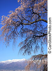 Weeping cherry tree and mountain - Weeping cherry tree of...