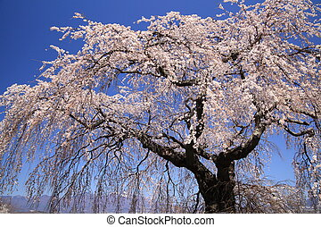 Weeping cherry tree and mountain - Weeping cherry tree and...