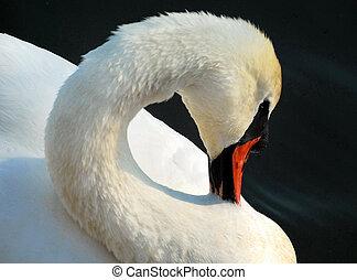 Afternoon pruning DSC 1186.2 SP.jpg - Closeup of swan...