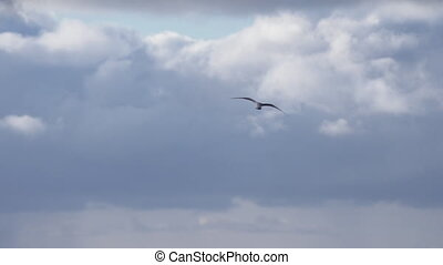 Flying Gull Flares and Alights Water - A lone sea gull...