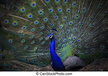 close up of indian peacock with beautiful tail feathers...