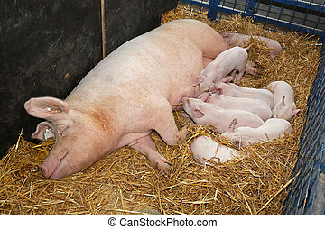 Sow with piglets - Hungry pigglets suckling sow in pen at...