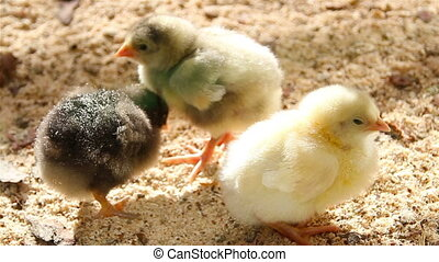newborn chicks