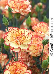 orange and pink carnation - this photo is taken in Shizuoka