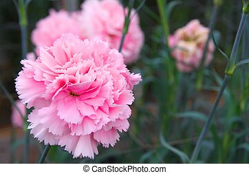 cute pink carnation - this photo is taken in Shizuoka