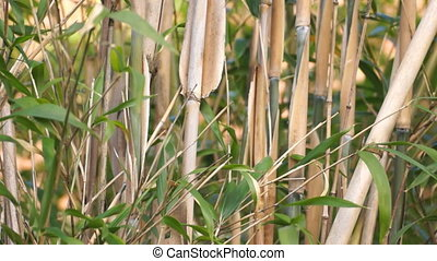 Bamboo - Background of bamboo in the wind