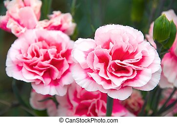 red and white carnation - this photo is taken in Shizuoka