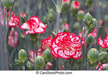 red and white carnation bouquet - this photo is taken in...