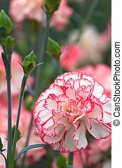pink and white carnation bouquet - this photo is taken in...