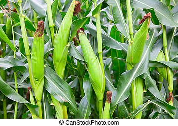 Corn field with ripe ears