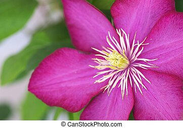 purple and white clematis - this photo is taken in Nagoya...