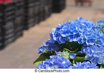 blue hydrangea - this photo is taken in Nagoya city