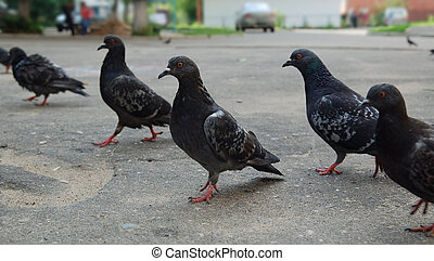 Group of pigeons walk on the ground