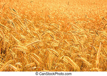 harvest of the golden wheat