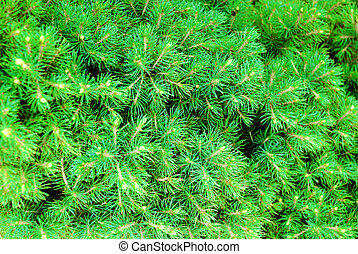 Green cones and needles on the pine-tree - Green cones and...