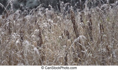 First Snow Drifting Grasses Autumn - Shot at a high frame...