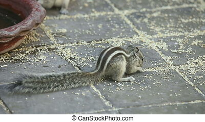 Chipmunks eating grain.