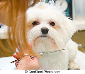 Grooming Maltese dog