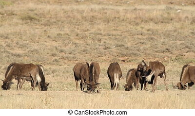 Black wildebeest grazing - Herd of black wildebeest...