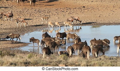 Wildebeest and antelopes at a water - Black wildebeest and...