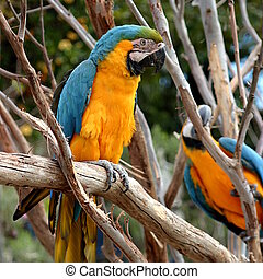 Blue And Gold Macaw - The Blue-and-yellow Macaw (Ara...