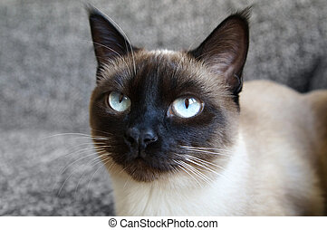 portrait of a siamese cat