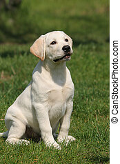 labrador puppy sitting on the grass - yellow a labrador...