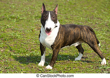 English bull terrier portrait - English bull terrier on the...