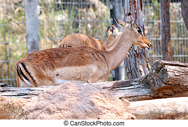 Impala is a medium-sized African antelope