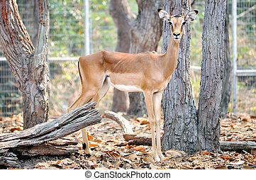 Impala is a medium-sized African antelope.
