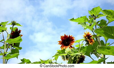decorative sunflower sky