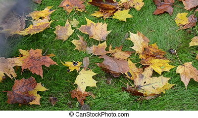 rake autumn leaves - closeup of colorful autumn maple tree...