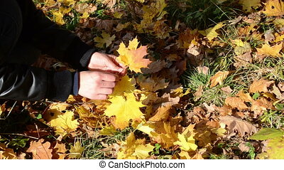 woman pick maple leaf - woman hand pick up gather golden...