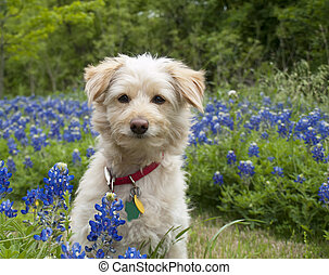 Young Scroffy Dog sitting in the Bluebonnets - Young scroffy...