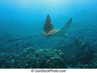 Spotted Eagle Ray - a spotted eagle ray moving out to sea in...