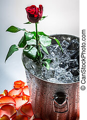 Rose in ice cold on white background