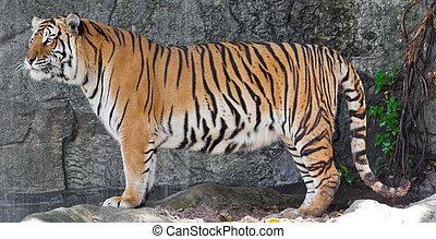 Siberian Tiger in a zoo  - Siberian Tiger in a zoo