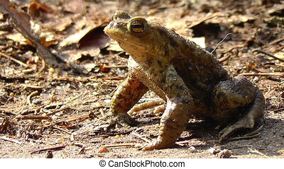 Common toad - Bufo - sunbathing