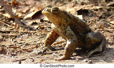 Common toad - sitting - walking - Toad sitting on and walk...