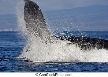 Big Splash of Humpback Whale Up Close (check out the detail...