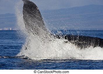 grande, Arriba, salpicadura, cierre, ballena, jorobado