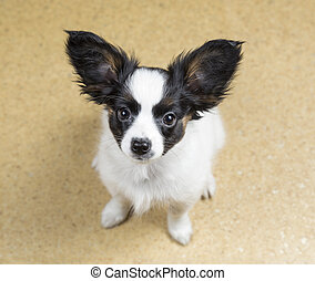 Papillon puppy looking at camera from bottom up