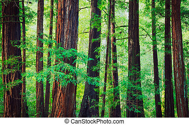 Redwood Forest - Redwood Trees in Forest, Northwest Rain...