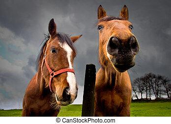 horse portrait - portrait of two brown horses