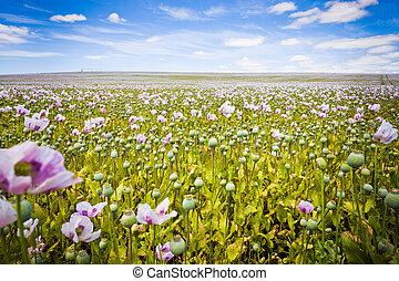 Tasmanian flowers - Beautiful field of pink Tasmanian poppy...