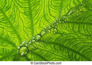 taro leaf and dew 2 - dew on taro leaf