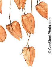 Golden Rain tree seed pods koelreuteria paniculata on white...