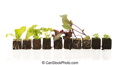 plants for vegetable garden - Row young plants ready for the...