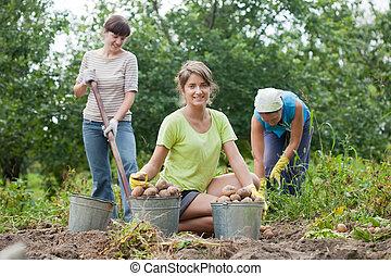 mujeres, cosechado, papas